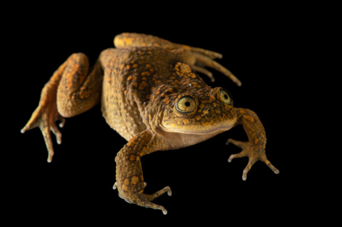 Photo: An undescribed Telmatobius sp., a new species of water frog from Potosi, Bolivia photographed at at Museo De Historia Natural Alcide d'Orbigny, a natural history museum and rare amphibian breeding center in Chocabamba Bolivia.