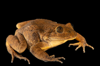 Photo: A Sucre water frog (Telmatobius simonsi) from Sucre, Bolivia photographed at at Museo De Historia Natural Alcide d'Orbigny, a natural history museum and rare amphibian breeding center in Chocabamba Bolivia.