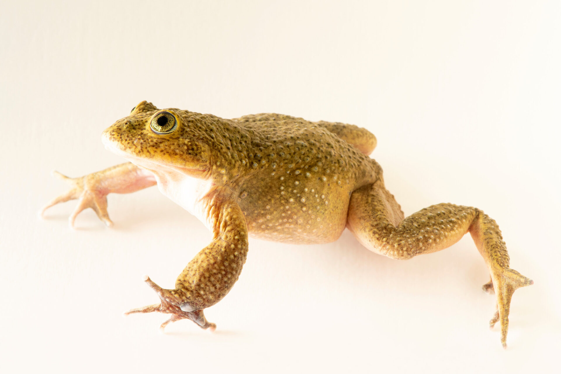 Photo: An undescribed Telmatobius sp., collected near Oruro, Bolivia, photographed at at Museo De Historia Natural Alcide d'Orbigny, a natural history museum and rare amphibian breeding center in Chocabamba Bolivia.