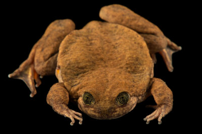 Photo: Juliet, a Sehuencas water frog (Telmatobius yuracare) at Museo De Historia Natural Alcide d'Orbigny, a natural history museum and rare amphibian breeding center in Chocabamba Bolivia.