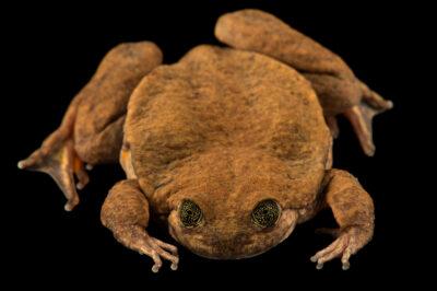 Photo: Juliet, a Sehuencas water frog (Telmatobius yuracare) at Museo De Historia Natural Alcide d'Orbigny, a natural history museum and rare amphibian breeding center in Chocabamba Bolivia.
