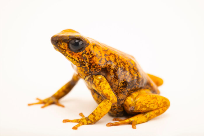 Photo: A little devil poison dart frog (Oophaga sylvatica tomate) at Balsa de los Sapos.