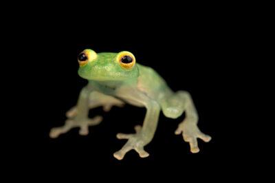 Photo: A Fleischmann's glassfrog (Hyalinobatrachium fleischmanni) at Balsa de los Sapos.