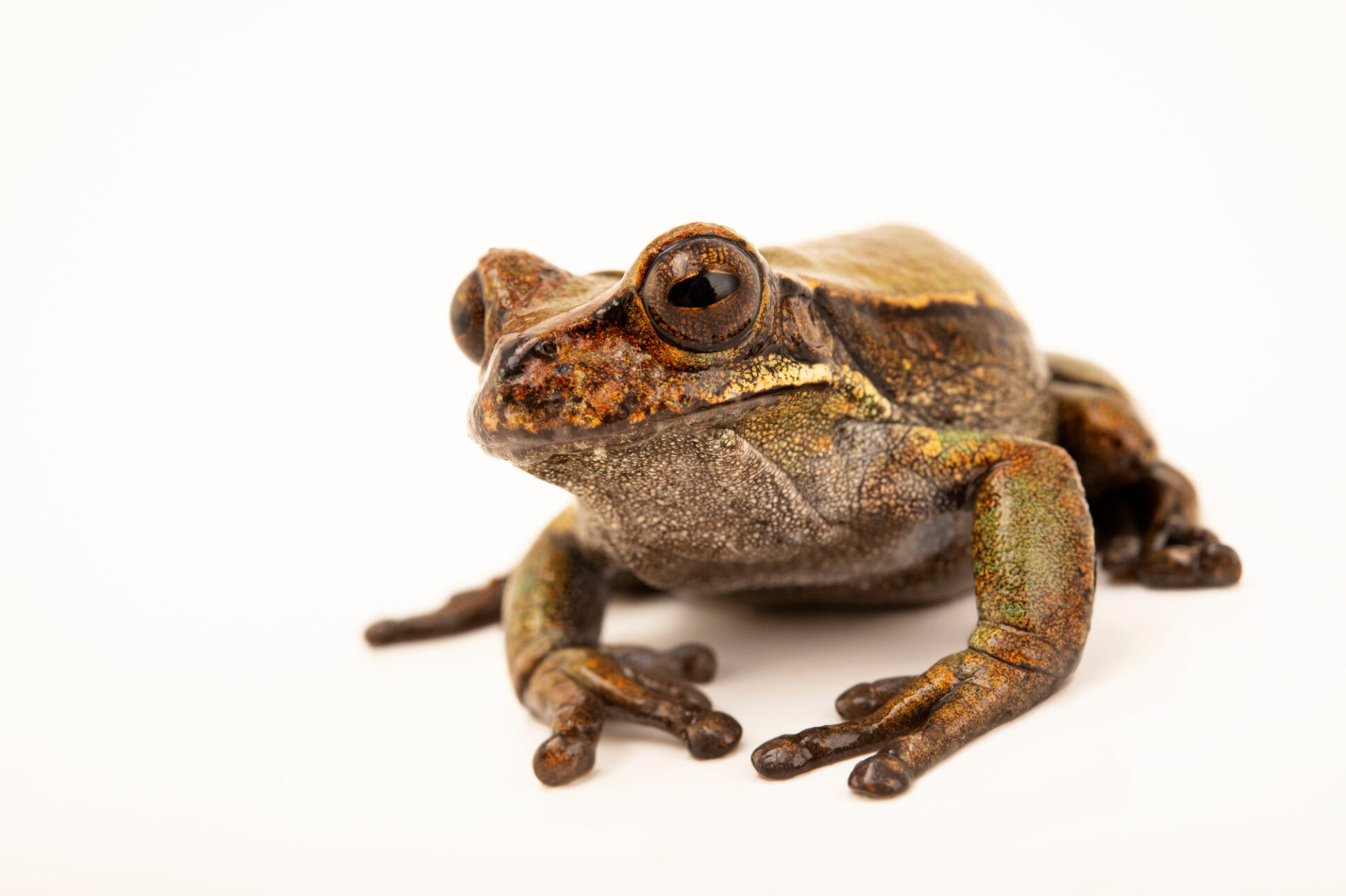 Photo: An undescribed, male, marsupial frog (Gastrotheca sp.1 compadre) at Balsa de los Sapos.