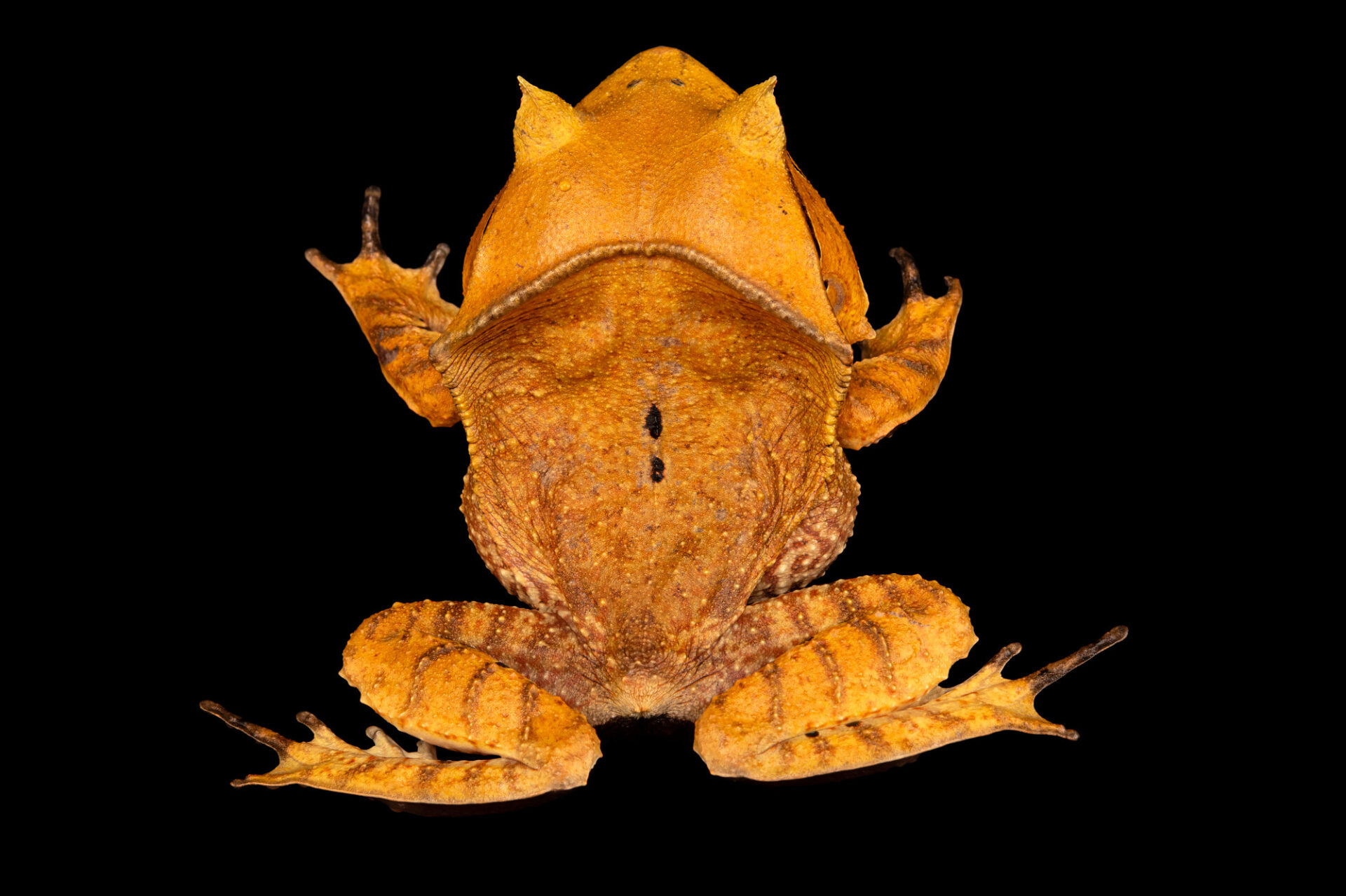 Photo: A Spix's horned treefrog (Hemiphractus scutatus) at Balsa de los Sapos.