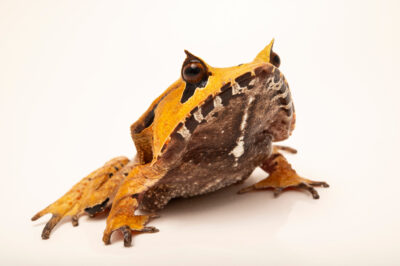 Photo: A Spix's horned treefrog (Hemiphractus scutatus) at Balsa de los Sapos.