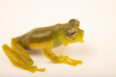 Photo: A Rio Coca cochran frog (Nymphargus siren) at Balsa de los Sapos.