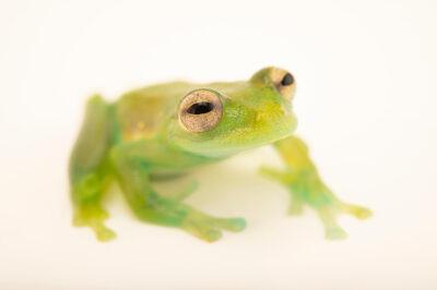 Photo: A Santa Cecilia cochran frog (Teratohyla midas) at Balsa de los Sapos.