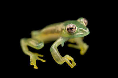 Photo: A glass frog (Nymphargus posadae) at Balsa de los Sapos.