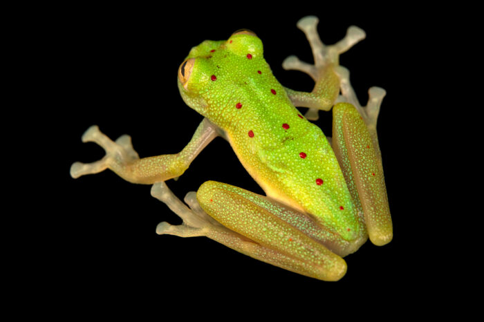 "Photo: A glass frog (Nymphargus sp. nov. ""orense"") at Balsa de los Sapos."