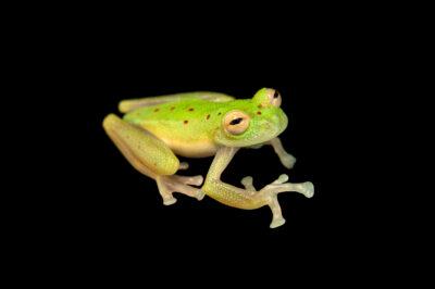 "Photo: A glass frog (Nymphargus sp. nov. ""orense"") at Balsa de los Sapos."
