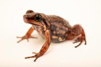 Photo: An awa rocket-frog (Hyloxalus awa) at Balsa de los Sapos.