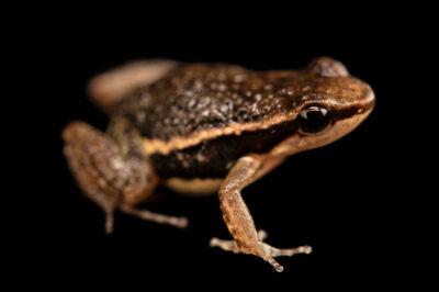 Photo: A poison dart frog (Epipedobates machalilla) at Balsa de los Sapos.