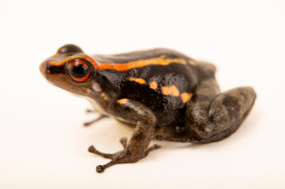 Photo: A Los Tayos rocket frog (Hyloxalus nexipus) at Balsa de los Sapos.