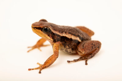 Photo: A Espada's rocket frog (Hyloxalus pulchelus) at Balsa de los Sapos.