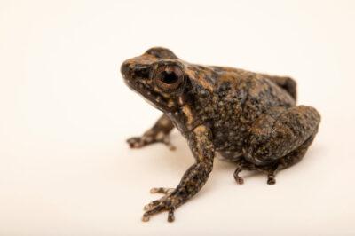 Photo: A poison dart frog (Hyloxalus yasuni) at Balsa de los Sapos.