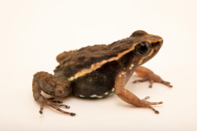 Photo: A Loja rocket frog (Hyloxalus elachyhistus) at Balsa de los Sapos.