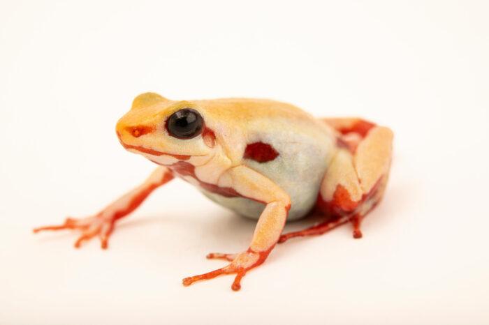 Photo: An Anthony's poison arrow frog (Epipedobates anthonyi) at Balsa de los Sapos.