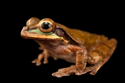 Photo: A New Grenada cross-banded treefrog (Smilisca phaeota) at Balsa de los Sapos.