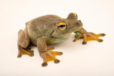 Photo: An adult Rosenberg's gladiator treefrog (Boana rosenberg) at Balsa de los Sapos.