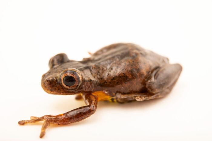 Photo: An executioner frog (Dendropsophus carnifex) at Balsa de los Sapos.
