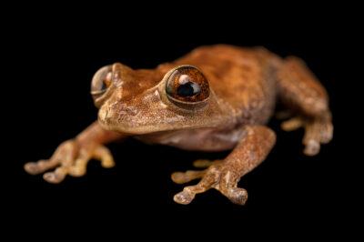 Photo: A map frog (Boana geographicus) at Balsa de los Sapos.