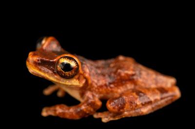 Photo: A tree frog (Osteosephalus mutabor) at Balsa de los Sapos.