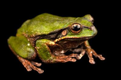 Photo: A El Tambo marsupial frog (Gastrotheca elicioi) at Balsa de los Sapos.