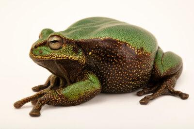 Photo: A marsupial frog (Gastrotheca sp. (P.N Yacuri) at Balsa de los Sapos.