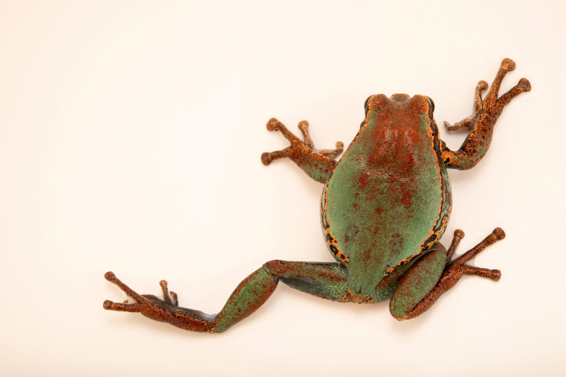 Photo: A marsupial frog (Gastrotheca sp.) at Balsa de los Sapos.