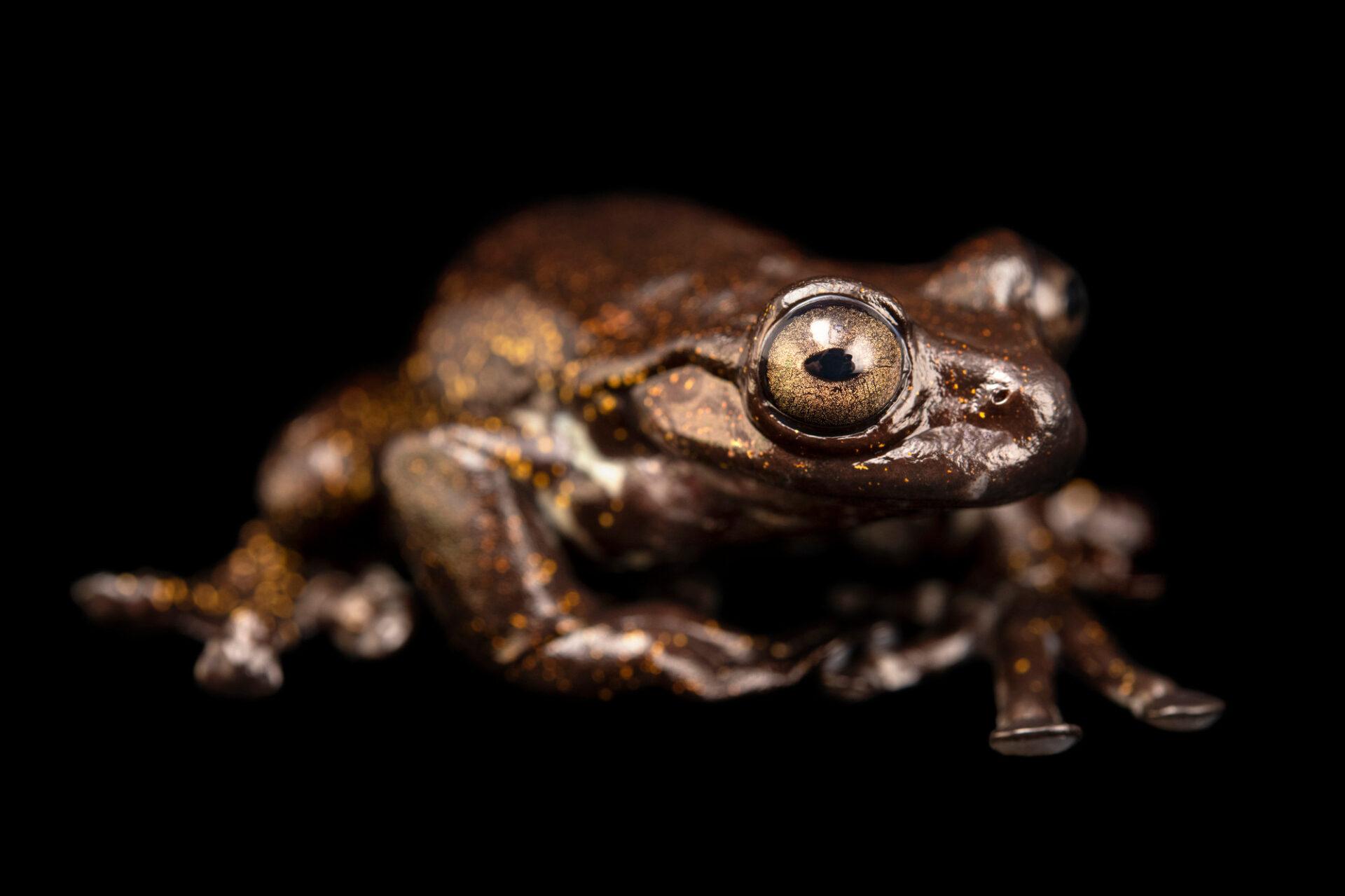 Photo: A tree frog (Hyloscirtus criptico) at Balsa de los Sapos.