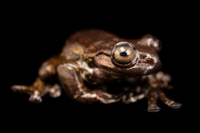 Photo: A tree frog (Hyloscirtus criptico) at Balsa de los Sapos.