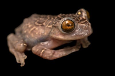 Photo: A stream tree frog (Hyloscirtus hillisi) at Balsa de los Sapos.