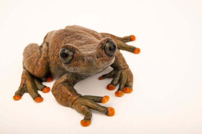 Photo: A Linda's treefrog (Hyloscirtus lindae) at Balsa de los Sapos.