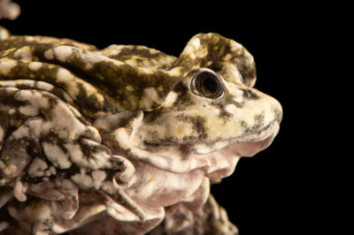 Photo: A water frog (Telmatobius sp.) at Balsa de los Sapos.