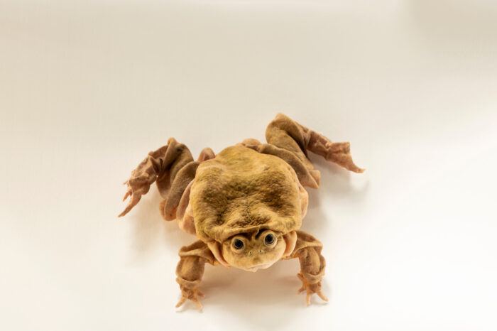Photo: A water frog (Telmatobius sp.) at Balsa de los Sapos.