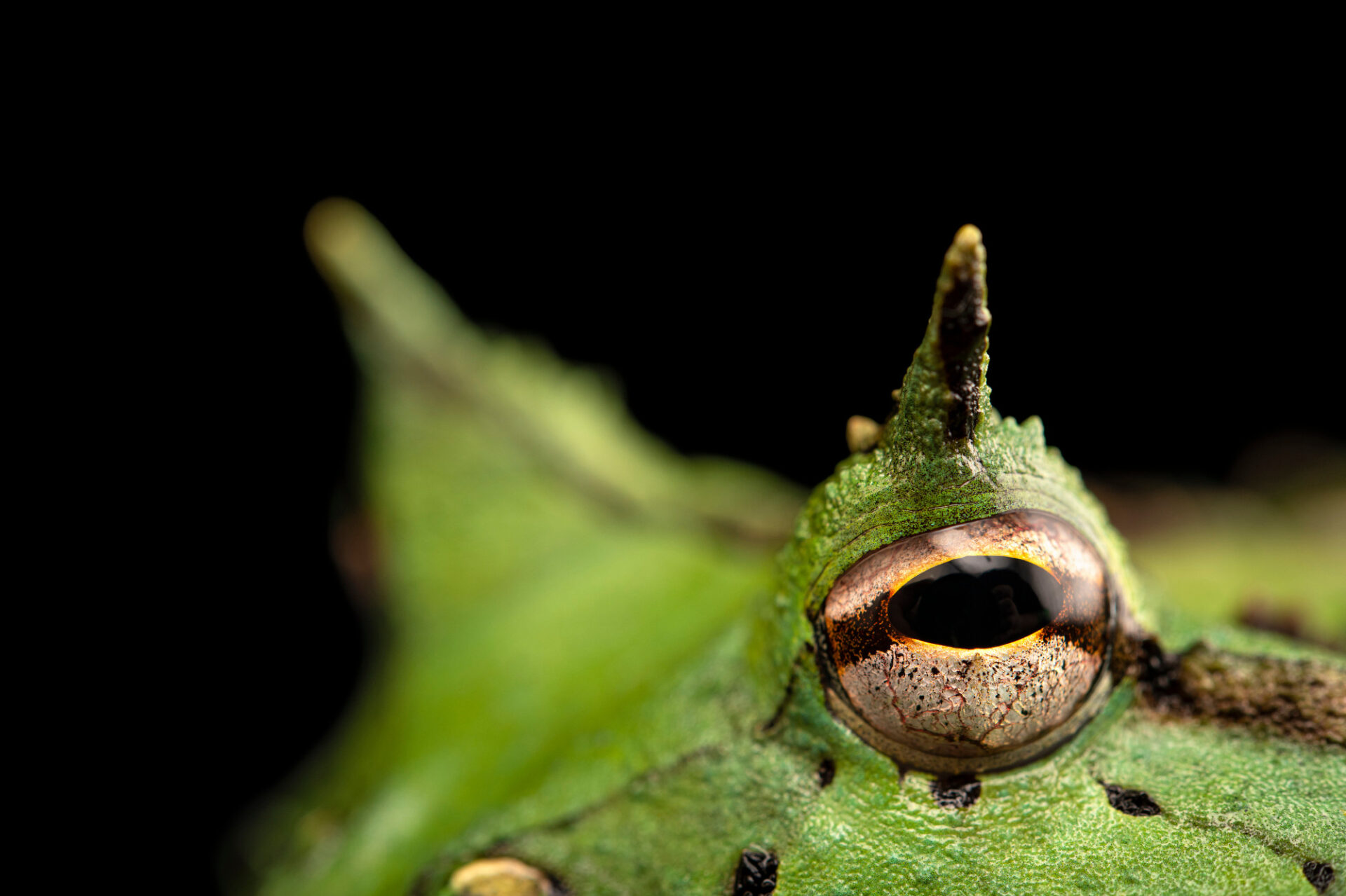 Photo: A horned frog (Ceratophrys cornuta) at Balsa de los Sapos.