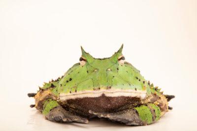 Photo: A horned frog (Ceratophrys cornuta) at Balsa de los Sapos.