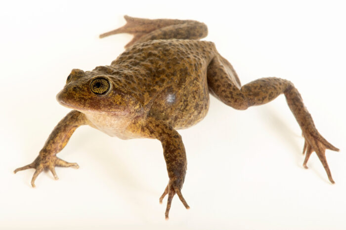 Photo: A undescribed species of water frog (Telmatobius sp.) at Museo De Historia Natural Alcide d'Orbigny, a natural history museum and rare amphibian breeding center in Chocabamba Bolivia.