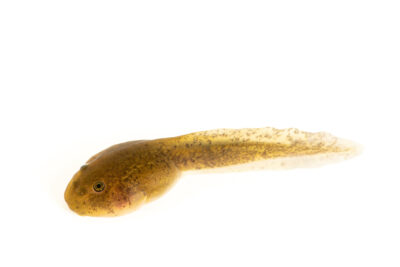 "Photo: A torrent frog tadpole (Telmatobius hintoni) at Museo De Historia Natural ""Alcide d'Orbigny"". This species is listed as vulnerable on the IUCN Red List."