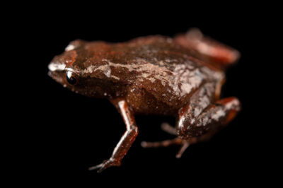 "Photo: A fleshbelly frog (Noblella carrascoicola) at Museo De Historia Natural ""Alcide d'Orbigny""."