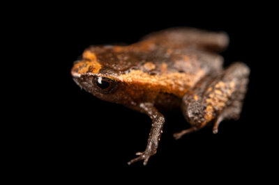 "Photo: A fleshbelly frog (Noblella ritarasquinae) at Museo De Historia Natural ""Alcide d'Orbigny""."