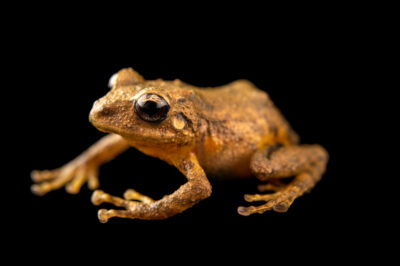 "Photo: A flat-fingered robber frog (Pristimantis platydactylus) at Museo De Historia Natural ""Alcide d'Orbigny""."