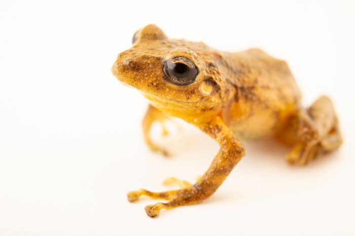 """Photo: A flat-fingered robber frog (Pristimantis platydactylus) at Museo De Historia Natural """"Alcide d'Orbigny""""."""
