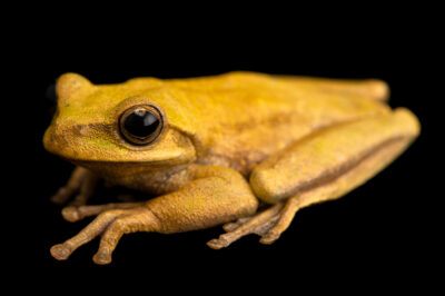 "Photo: A charuplaya treefrog (Boana callipleura) at Museo De Historia Natural ""Alcide d'Orbigny""."