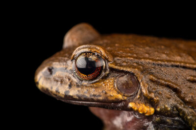 "Photo: A Peru white-lipped frog (Leptodactylus rhodonotus) at Museo De Historia Natural ""Alcide d'Orbigny""."