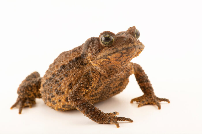 "Photo: A female el chape toad (Rhinella justinianoi) at Museo De Historia Natural ""Alcide d'Orbigny"". This species is listed vulnerable on the IUCN red list."