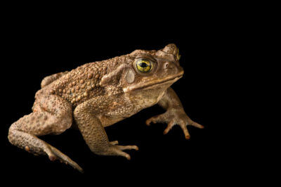 "Photo: A common toad (Rana arenarum) at Museo De Historia Natural ""Alcide d'Orbigny""."