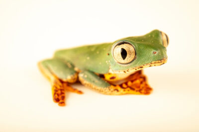 Photo: A tiger-striped leaf frog (Phyllomedusa tomopterna) at the Amphibian Foundation in Atlanta, GA.