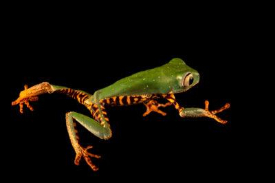 Photo: A tiger-striped leaf frog (Phyllomedusa tomopterna) at the Amphibian Foundation in Atlanta, GA.